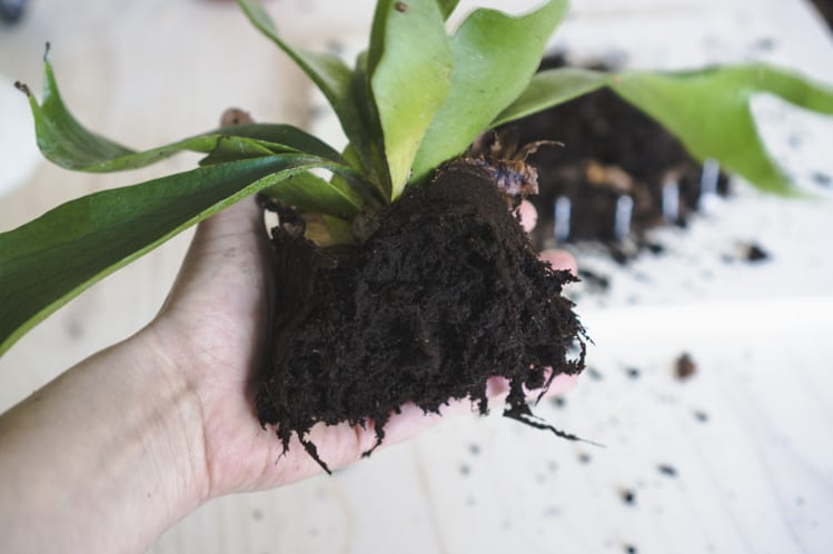 How to mount a Staghorn fern DIY-7