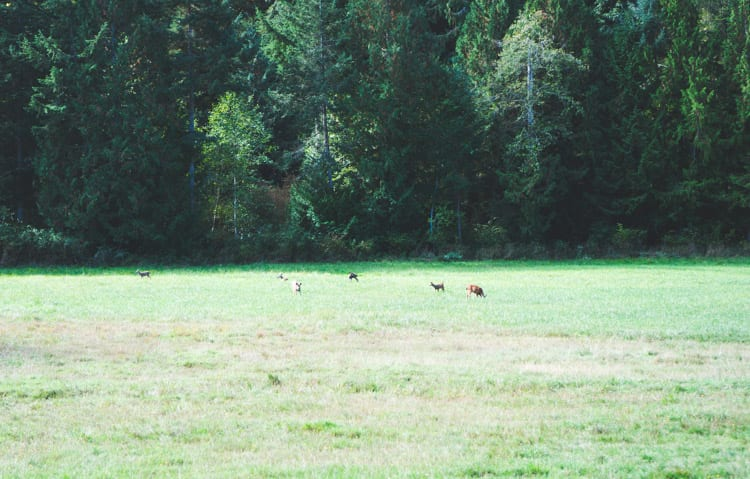 deer in salt spring